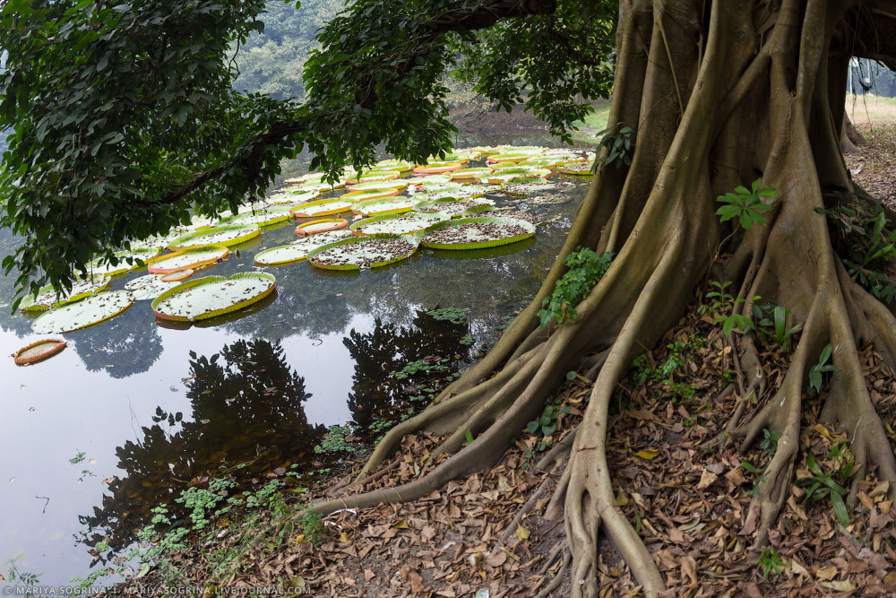 Mariya Sogrina Kolkata Great Banyan-23