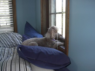 Watchful Poodle