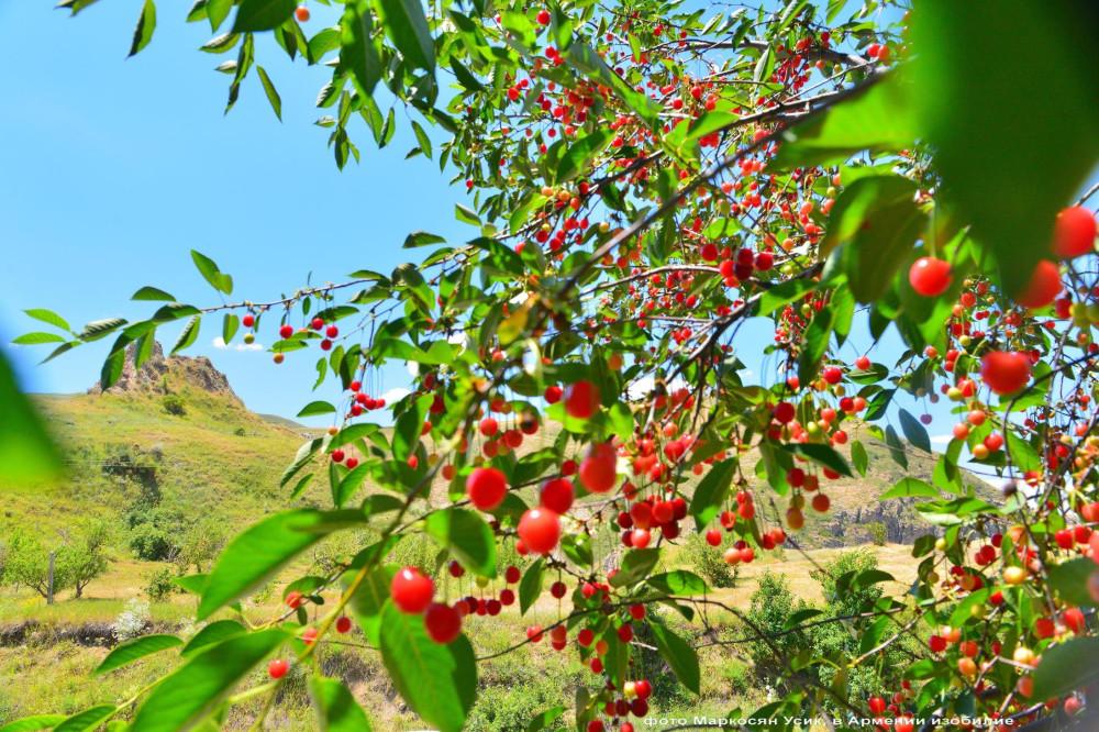 Маркосян Усик, в Армении изобилие1