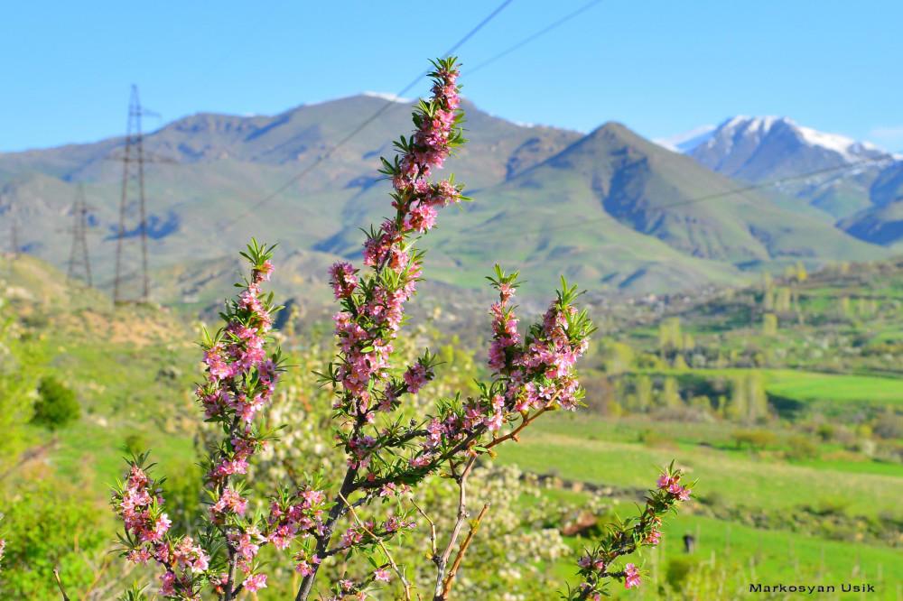 Маркосян Усик Горные цветы Армении...