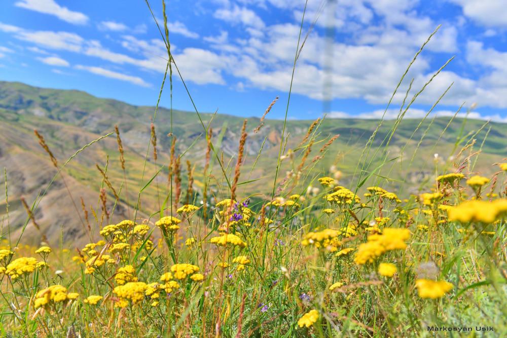 Маркосян Усик Горные цветы Армении..--