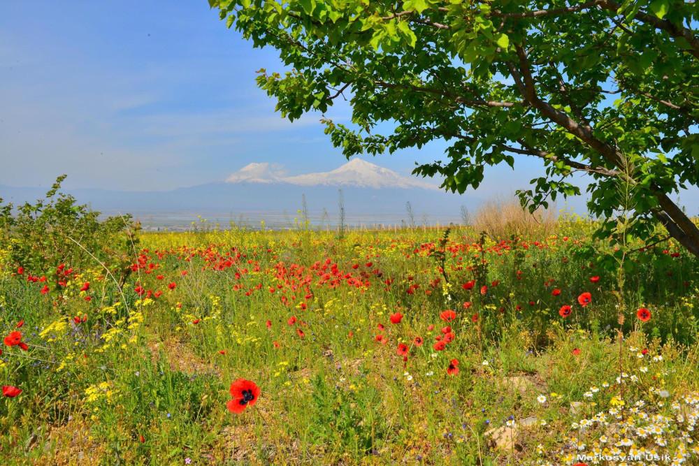 Маркосян Усик Горные цветы Армении.