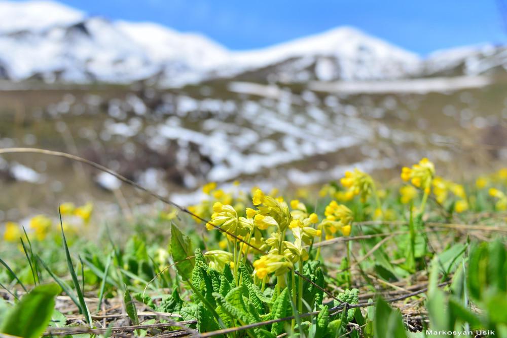Маркосян Усик.. Горные цветы Армении.