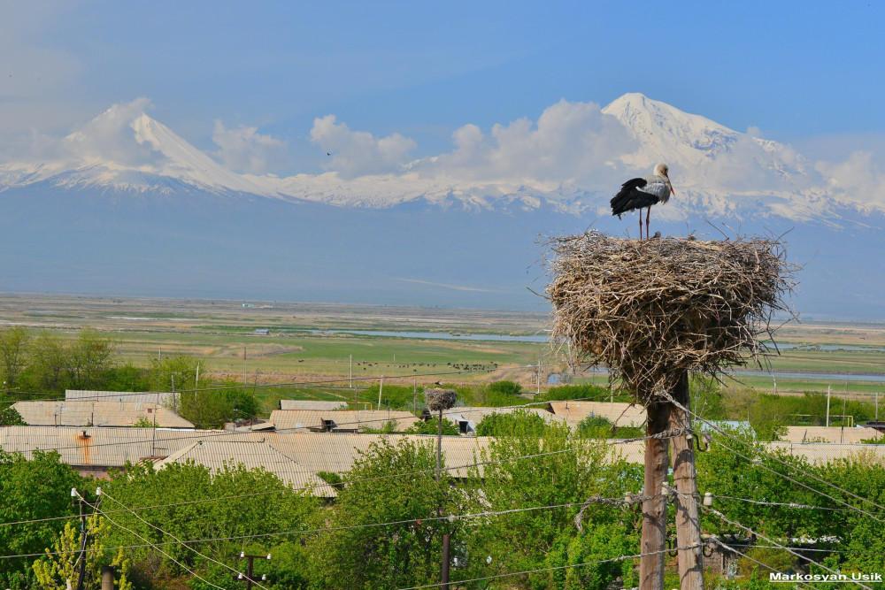 Аисты в Армении. Маркосян Усик 1.