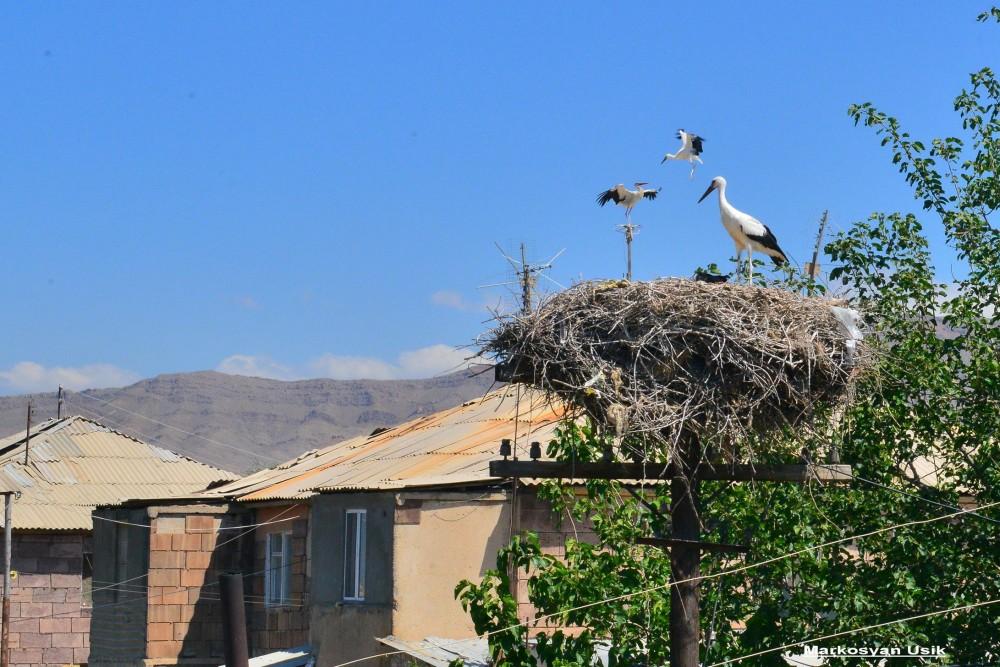 Аисты в Армении. Маркосян Усик 2