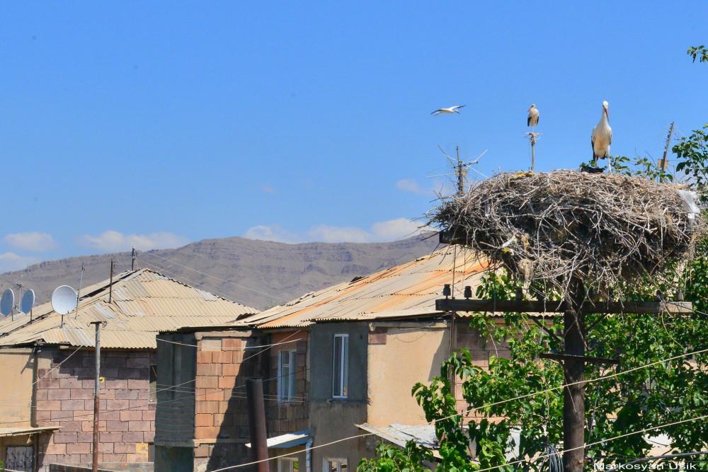 Аисты в Армении. Маркосян Усик .... (2)