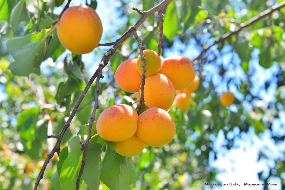 Абрикосы, абрикосовые сады Армении, Маркосян Усик ...7
