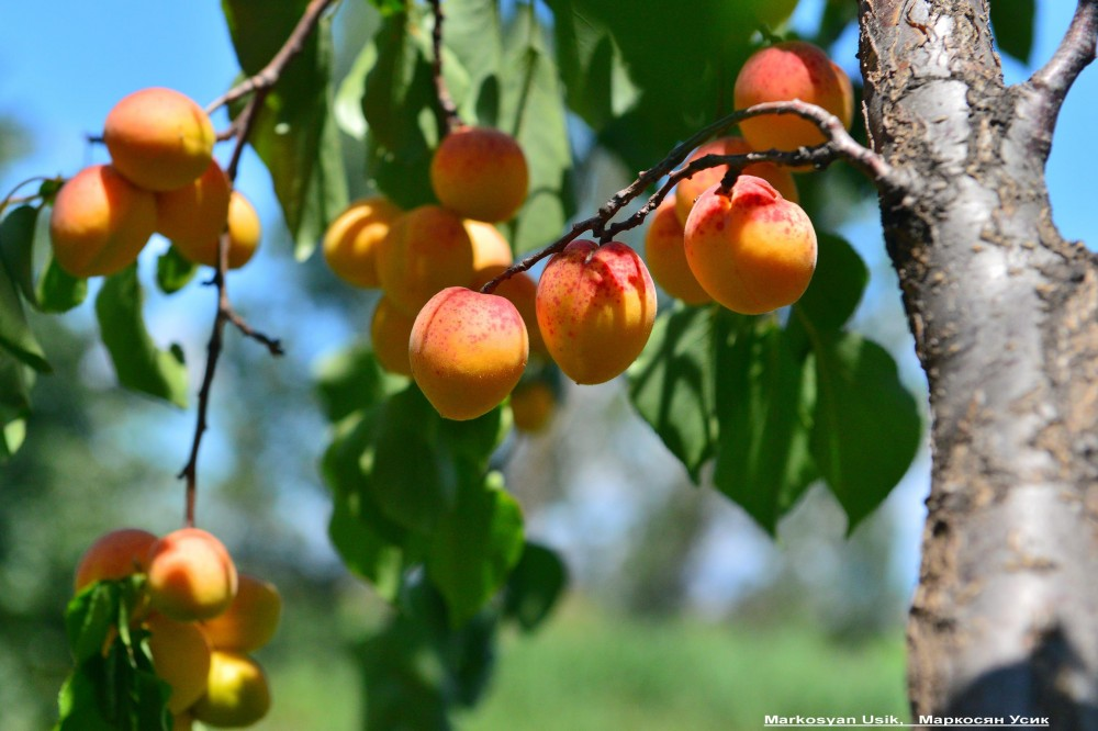 Абрикосы, абрикосовые сады Армении, Маркосян Усик 22