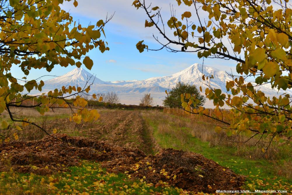 Абрикосы, абрикосовые сады Армении, Маркосян Усик--