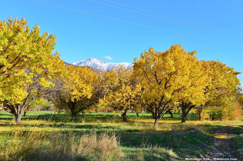 Абрикосы, абрикосовые сады Армении, Маркосян Усик44