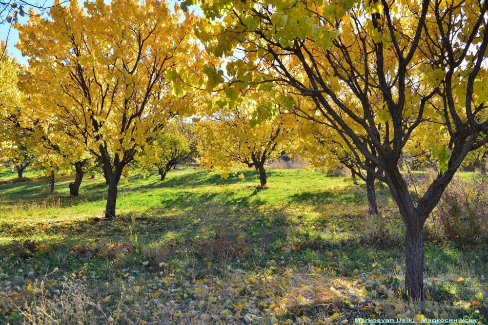 Абрикосы, абрикосовые сады Армении, Маркосян Усик 5