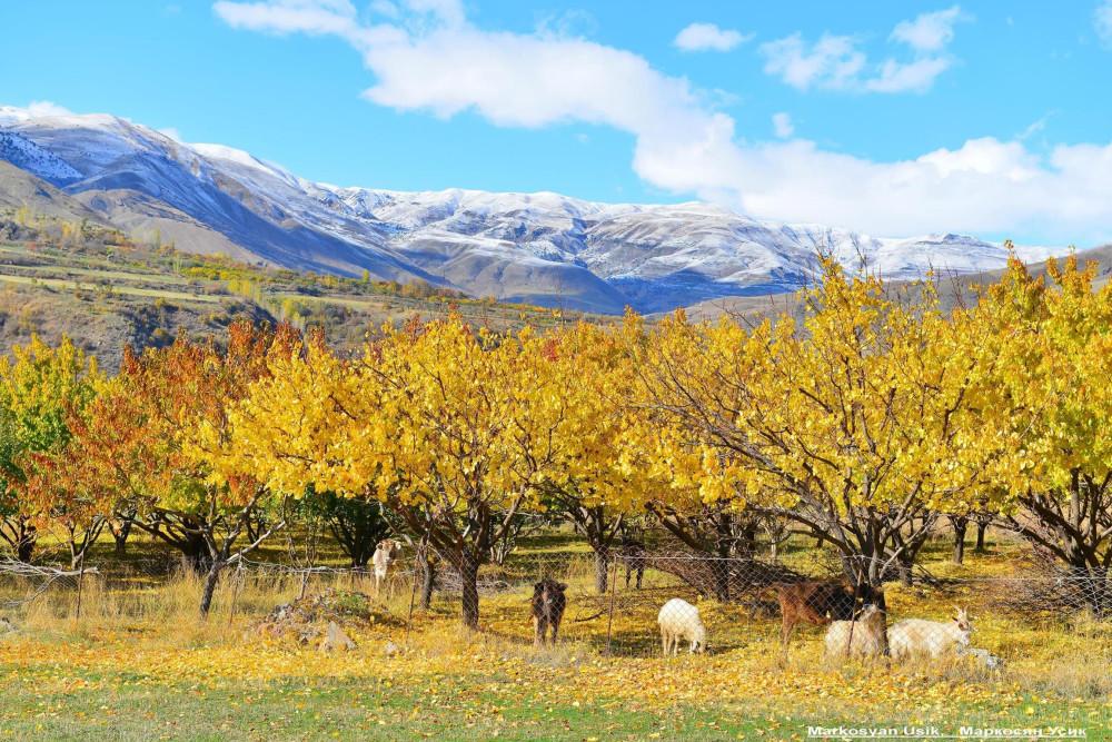 Абрикосы, абрикосовые сады Армении, Маркосян Усик 8