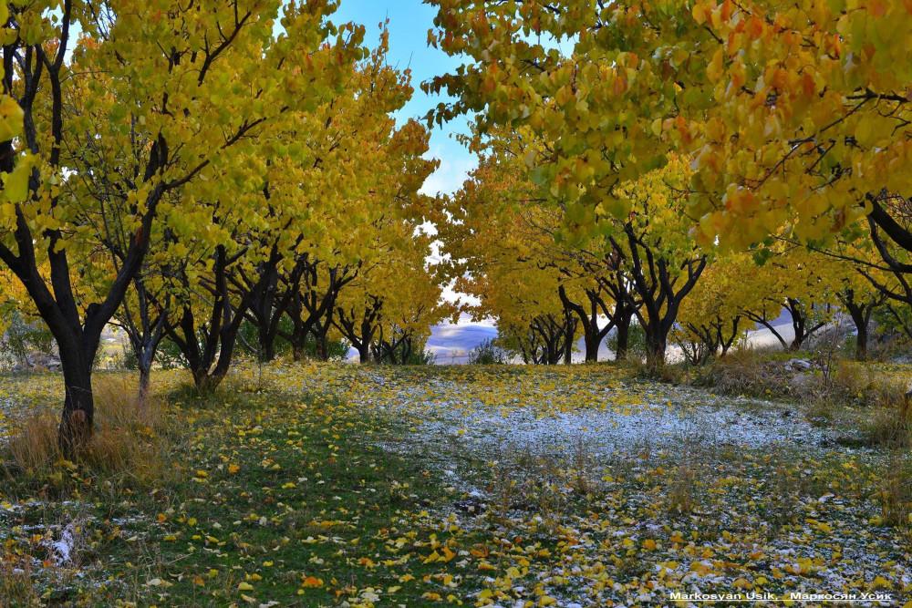 Абрикосы, абрикосовые сады Армении, Маркосян Усик.-2