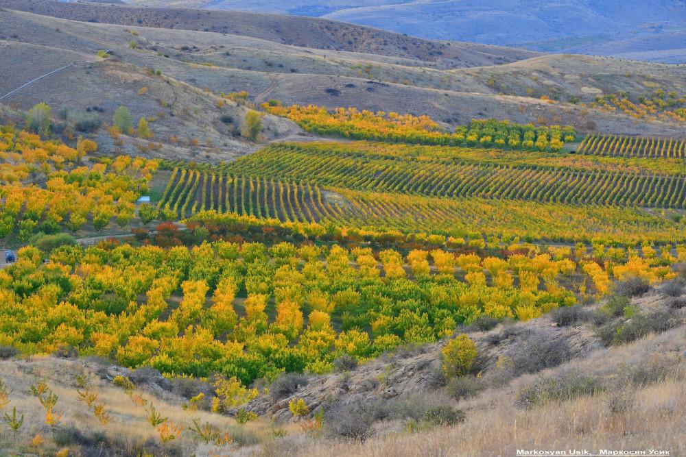 Абрикосы, абрикосовые сады Армении, Маркосян Усик
