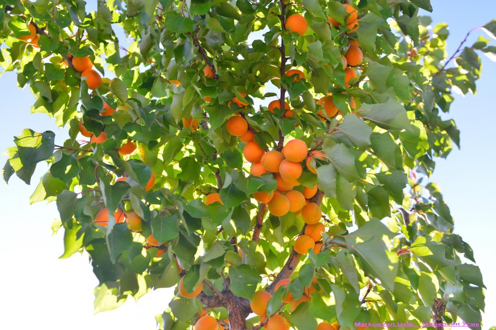 Абрикосы, абрикосовые сады Армении, Маркосян Усик-=