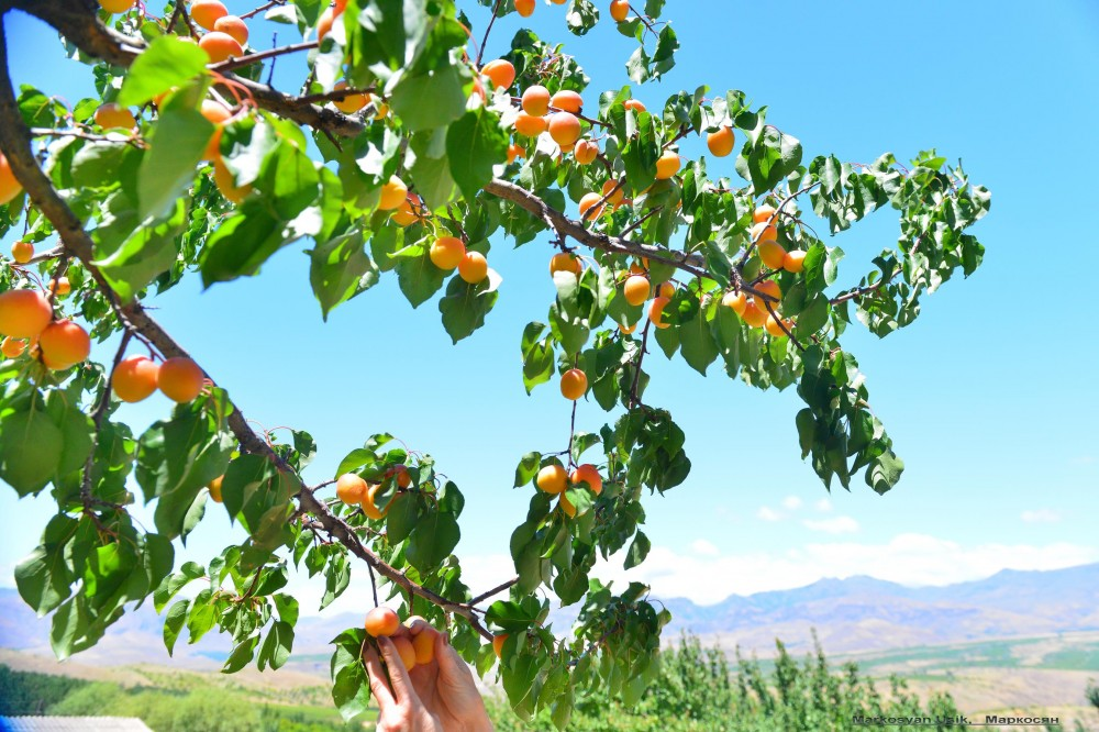 Абрикосы, абрикосовые сады Армении, Маркосян Усик123