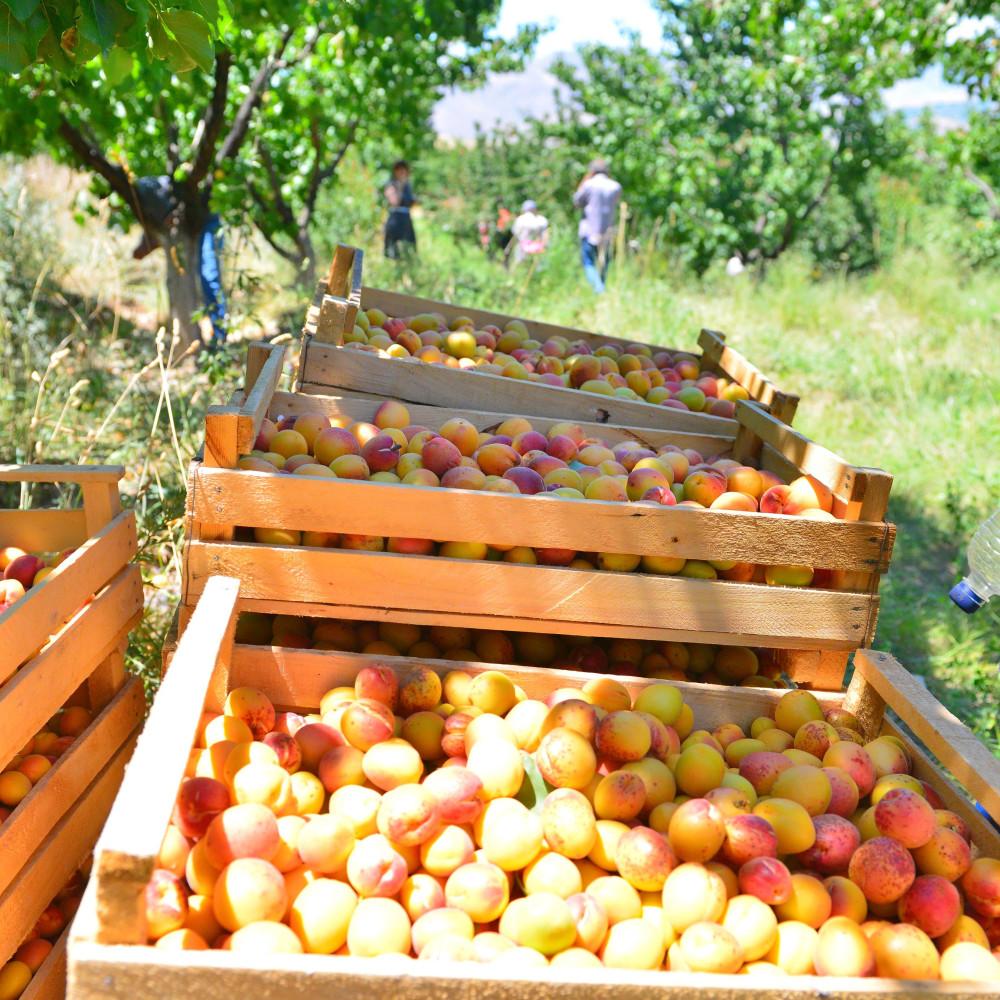 Абрикосы, абрикосовые сады Армении, Маркосян Усик. 1