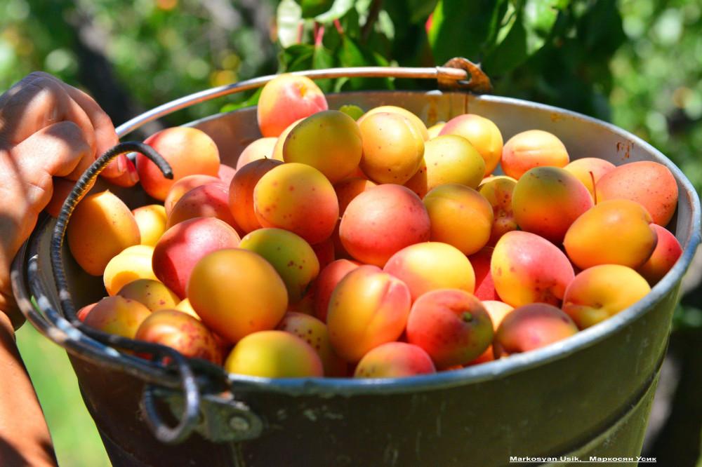 Абрикосы, абрикосовые сады Армении, Маркосян Усик.1 1