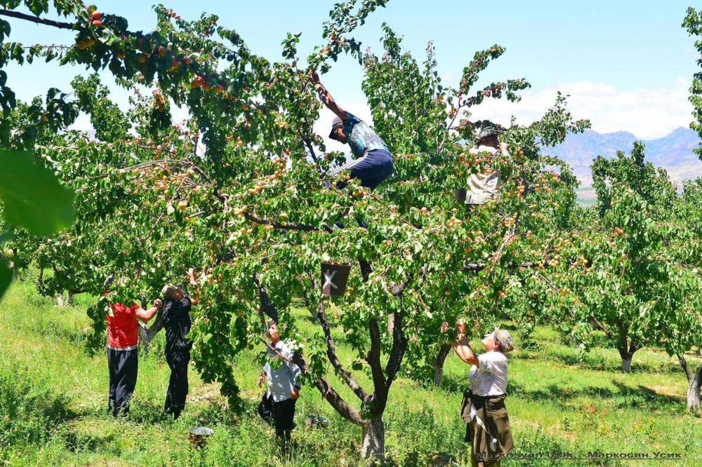 Абрикосы, абрикосовые сады Армении, Маркосян Усик .1.2