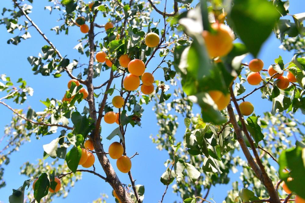 Абрикосы, абрикосовые сады Армении, Маркосян Усик-.-.