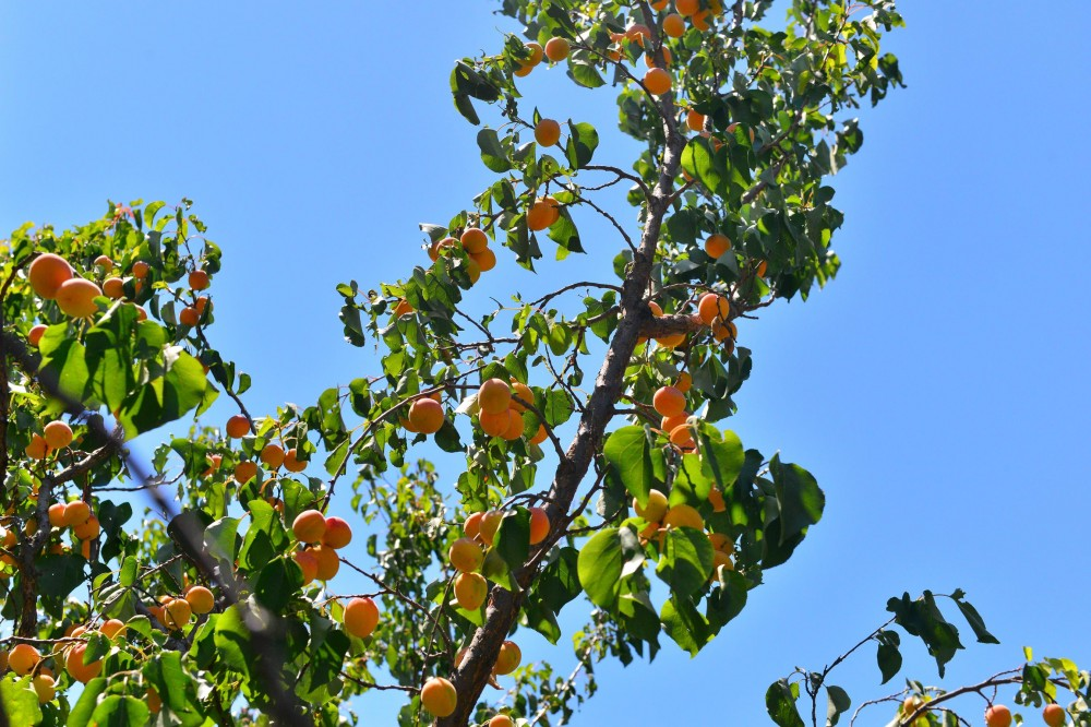 Абрикосы, абрикосовые сады Армении, Маркосян Усик...--