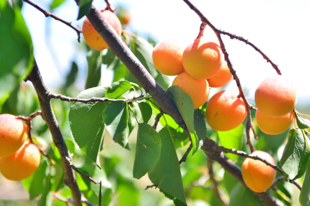 Абрикосы, абрикосовые сады Армении, Маркосян Усик.=-