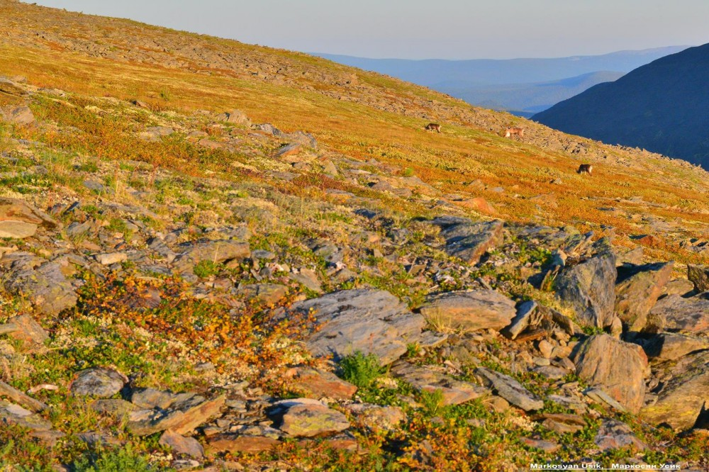 Дикие олени в горах Приполярном Урале, Маркосян Усик,