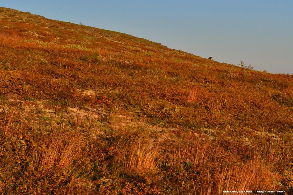 Дикие олени в горах Приполярном Урале, Маркосян Усик