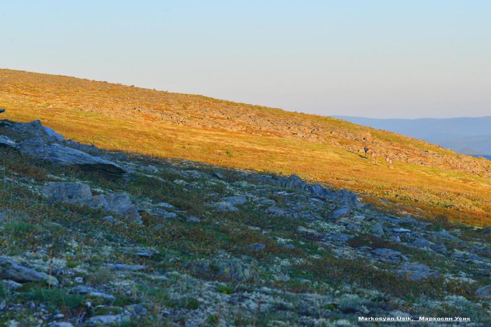 Дикие олени в горах Приполярном Урале, Маркосян Усик1.21