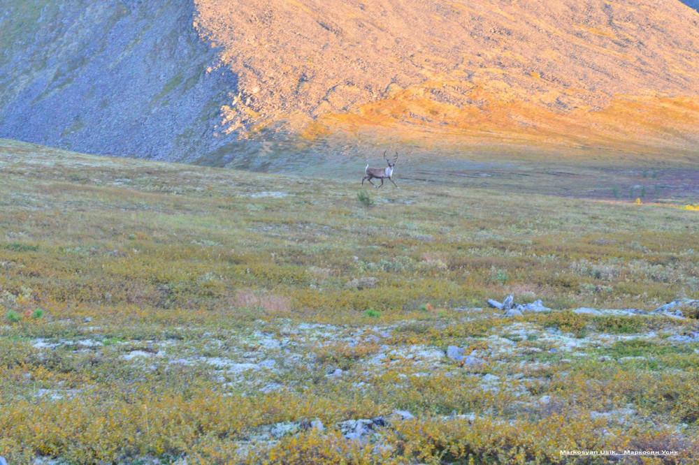 Дикие олени в горах Приполярном Урале, Маркосян Усик1