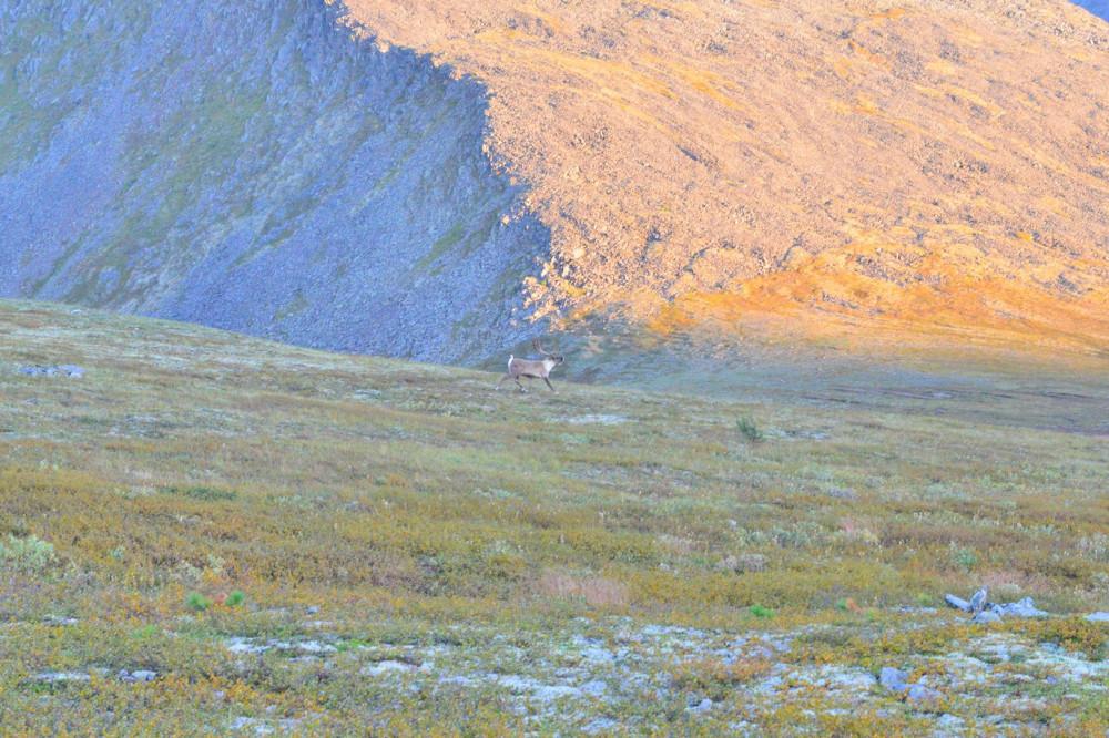 Дикие олени в горах Приполярном Урале, Маркосян Усик11