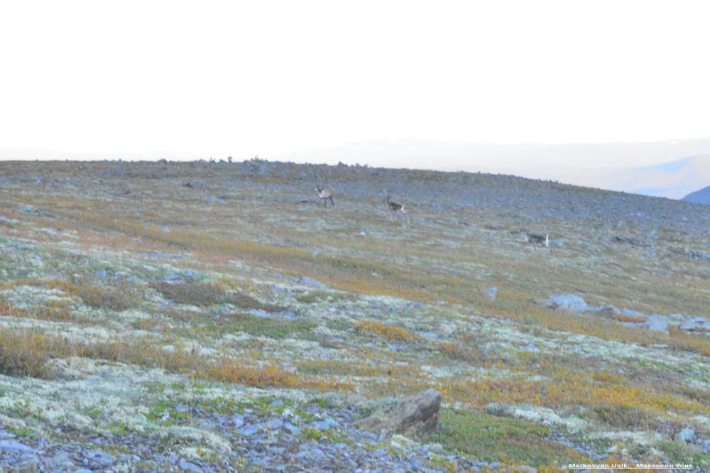 Дикие олени в горах Приполярном Урале, Маркосян Усик22