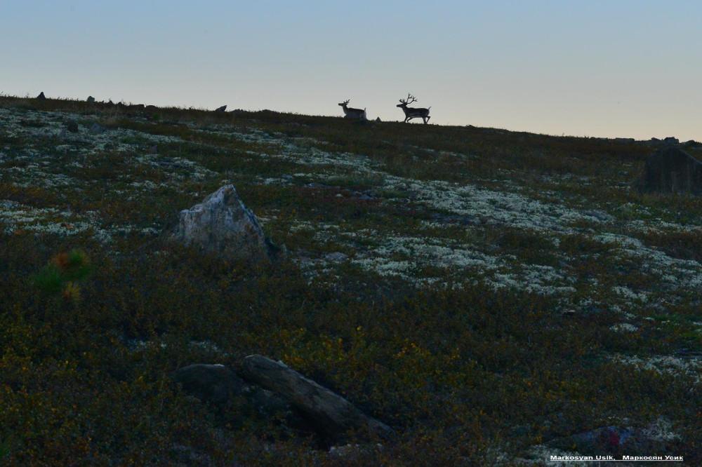 Дикие олени в горах Приполярном Урале, Маркосян Усик112