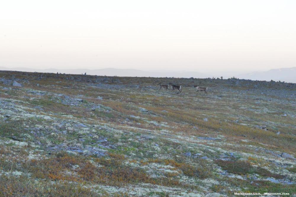 Дикие олени в горах Приполярном Урале, Маркосян Усик132