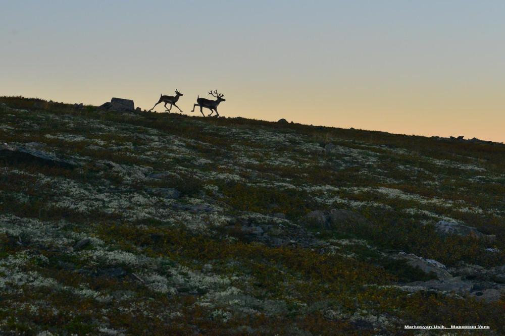 Дикие олени в горах Приполярном Урале, Маркосян Усик ...
