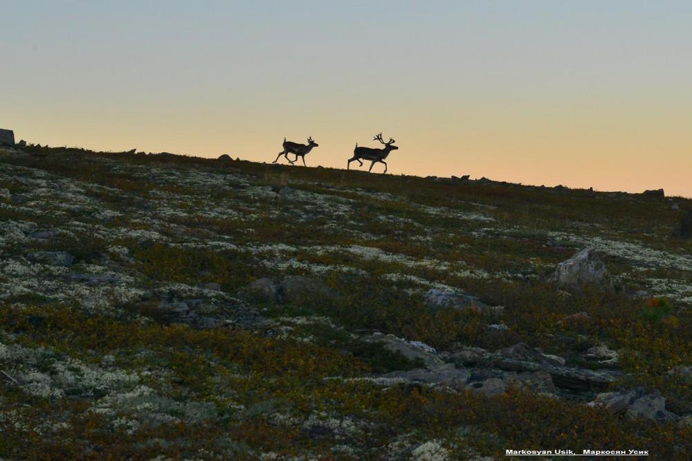Дикие олени в горах Приполярном Урале, Маркосян Усик .