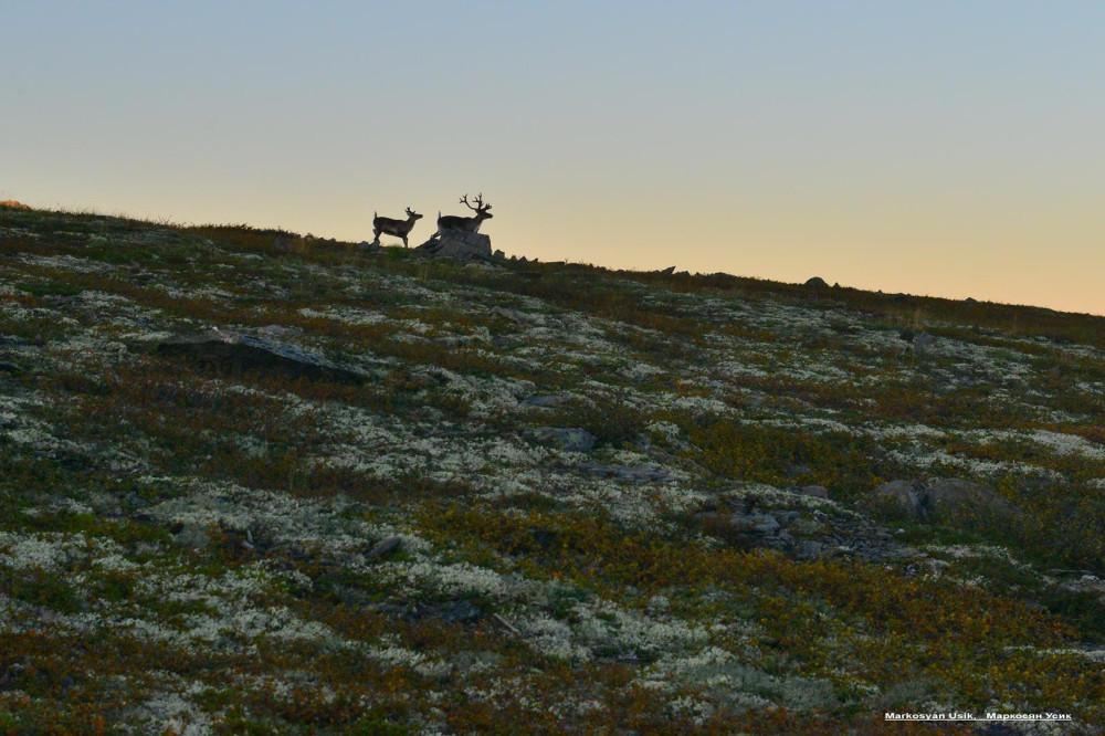 Дикие олени в горах Приполярном Урале, Маркосян Усик .-