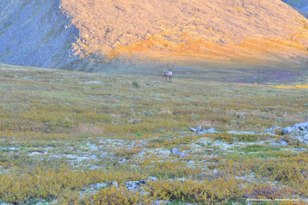 Дикие олени в горах Приполярном Урале, Маркосян Усик .1