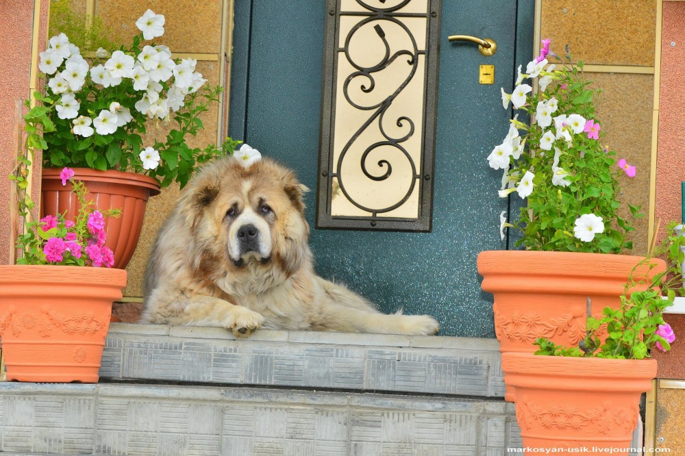 Собака Босс, фото Маркосян Усик.-.