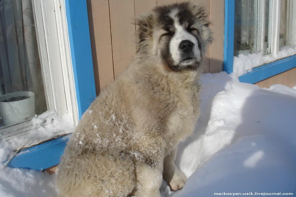 --Собака Босс, фото Маркосян Усик