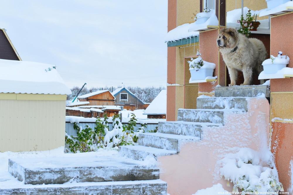 Собака Босс, фото Маркосян Усик-=-