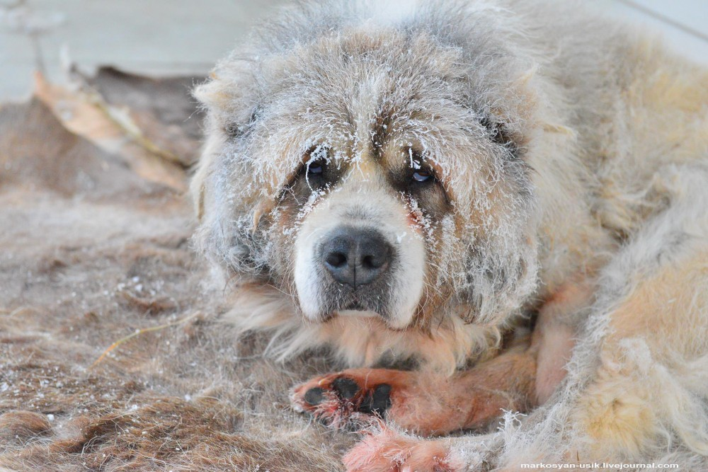 ....Собака Босс, фото Маркосян Усик