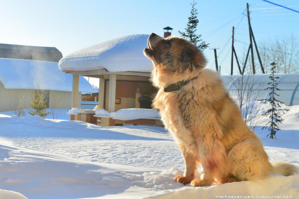 Собака Босс, фото Маркосян Усик ..