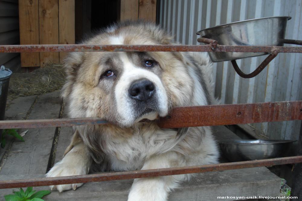 ..-Собака Босс, фото Маркосян Усик
