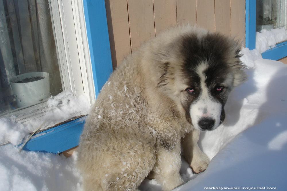 -..Собака Босс, фото Маркосян Усик