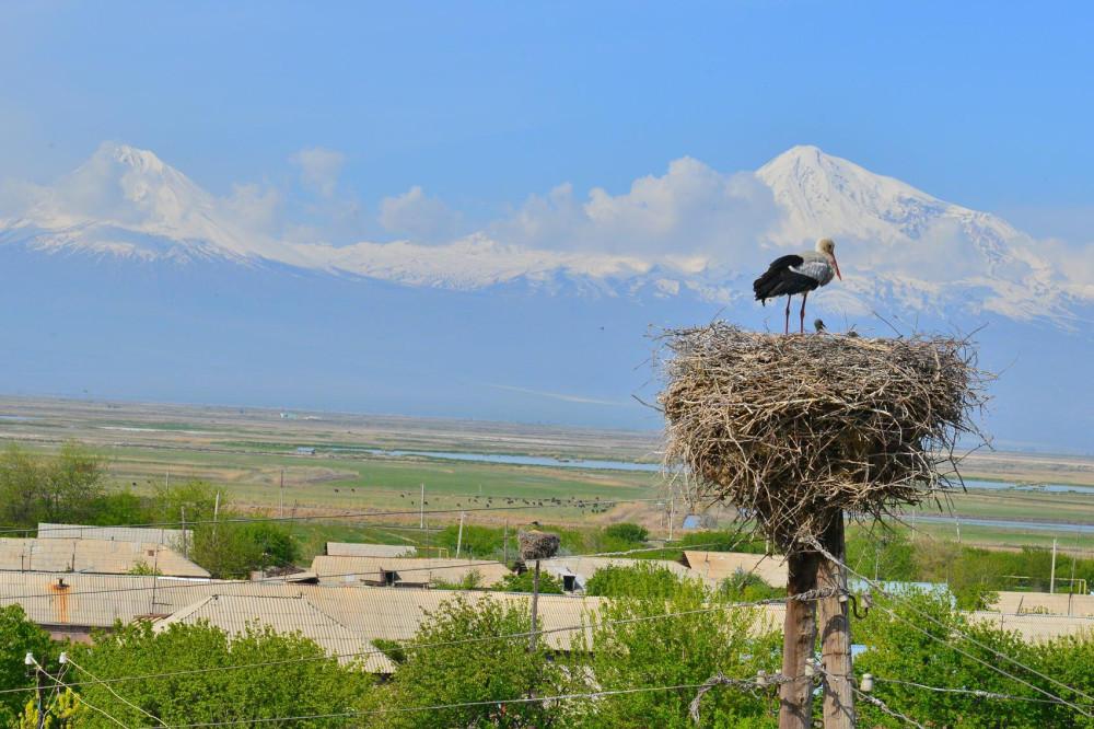 Аисты Армении Маркосян Усик