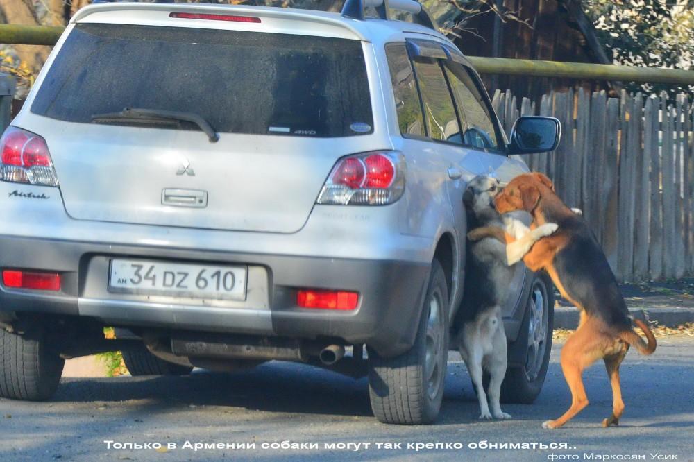 Только в Армении собаки так могут. фото Маркосян Усик