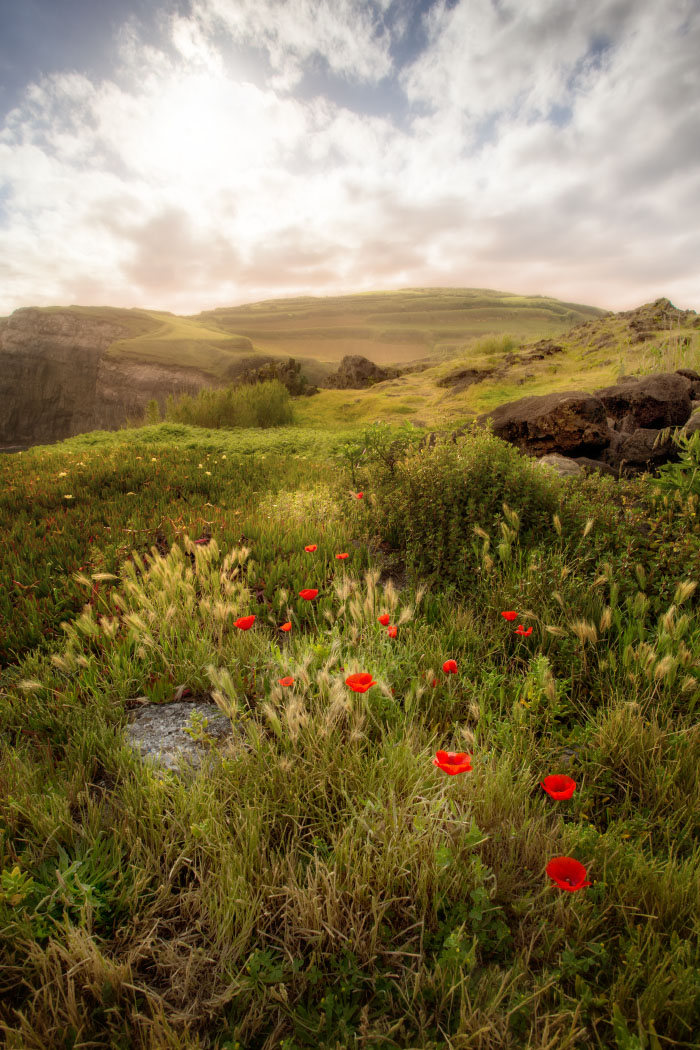 Poppies of Azores
