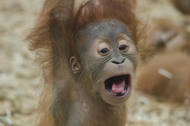 Выдумщица реальности орангутанги хотят жить