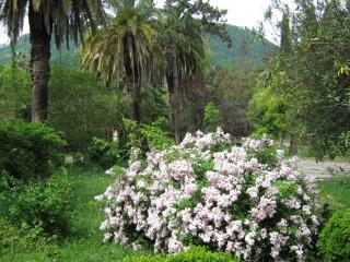 Розы в Абхазии